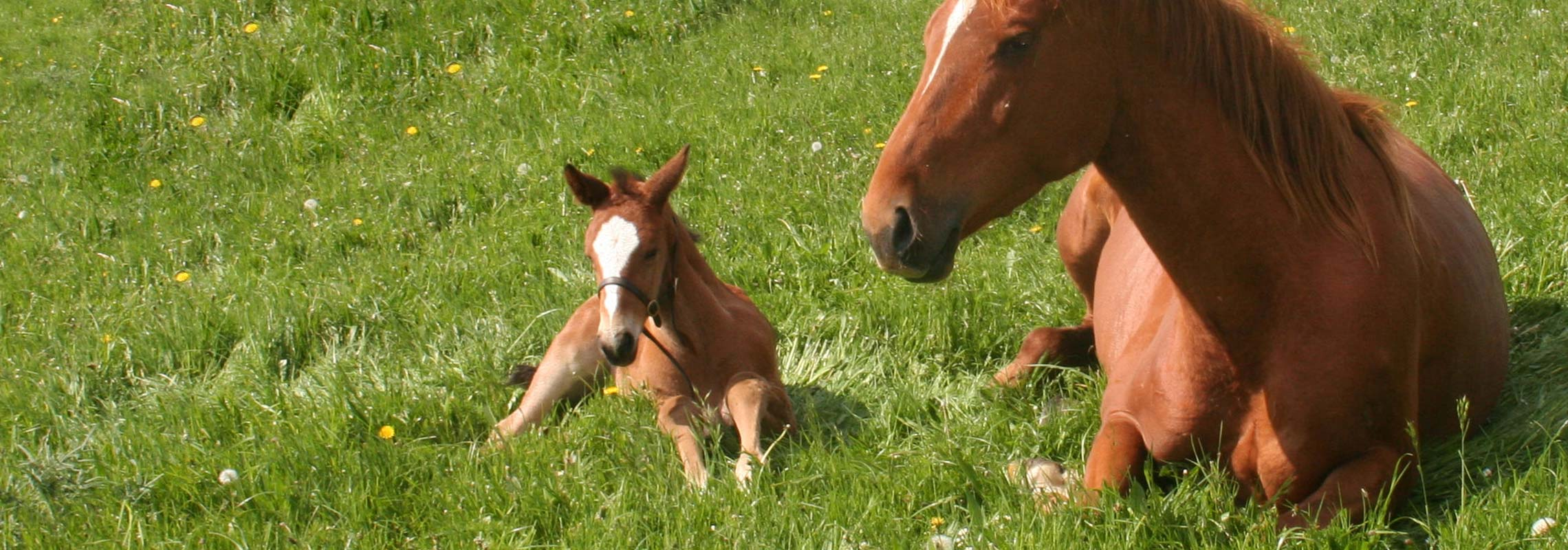 GreenLane Stud - Competition horses breeders - Foal