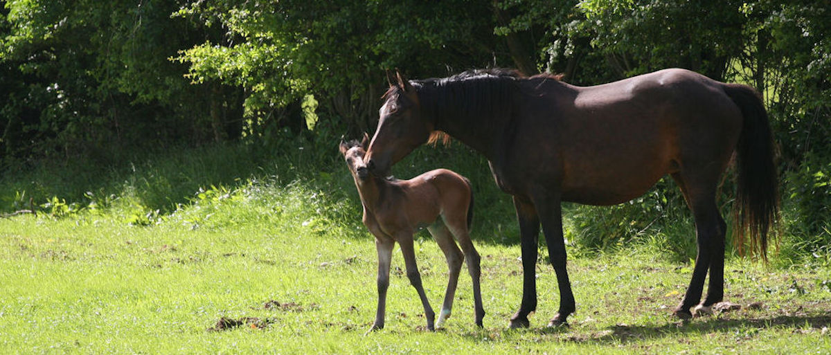 GreenLane Stud mares A-Fleur and GreenLanes Karousel